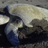 Pacific Sea Turtle Volunteer Programme, Costa Rica