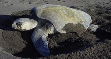 Pacific Sea Turtle Volunteer Programme, Costa Rica