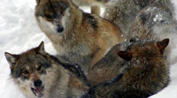 White Wilderness – Carpathian Wolf Watch Volunteer Project