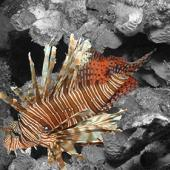 One Week Lionfish Project