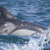 Cetacean behaviour study in Southern Turkey