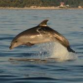 Dolphin Research, Education and Conservation in Croatia.