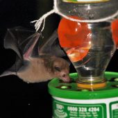 Chiropterology Volunteer Project