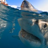 White Shark Diving Company Volunteer Program – Shark Research and Ocean Conservation