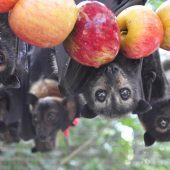 Aussie Bat Rescue and Rehabilitation