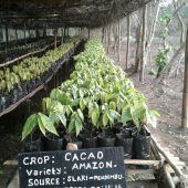 Volunteers wanted for an exciting Cocoa Agroforestry project in Sierra Leone