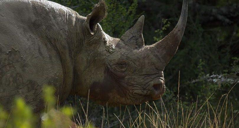 Rhino Kariega South Africa