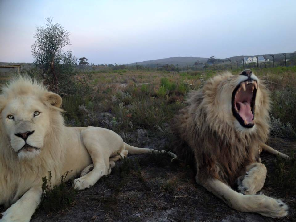 Big Cat Sanctuary Volunteer Project, South Africa