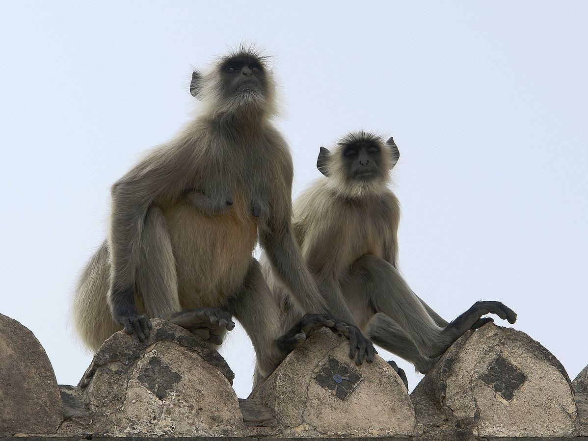 Human Langur monkeys in India