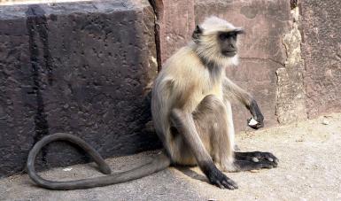 Langur monkey India