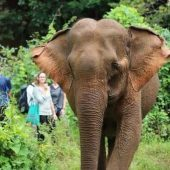 Elephant Sanctuary Volunteer Project, Cambodia