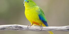 Endangered bird in Australia