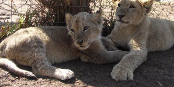 Unethical Lion Park in South Africa