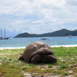 Tortoise on Seychelles beach
