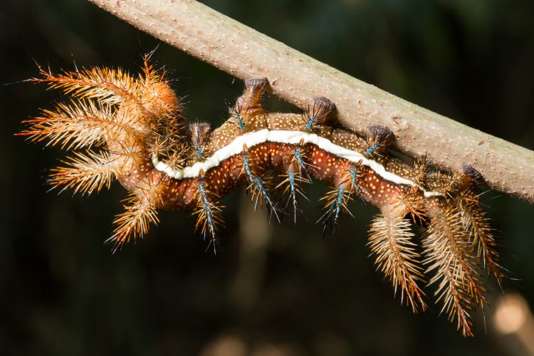 Automeris Moth Caterpillar