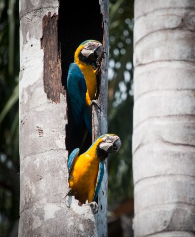 Blue and Yellow Macaws Nesting