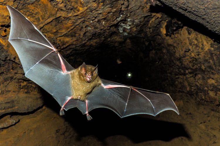 Capture of flying bat