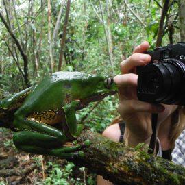Close up of giant monkey treefrog