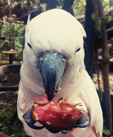 Cockatoo eating