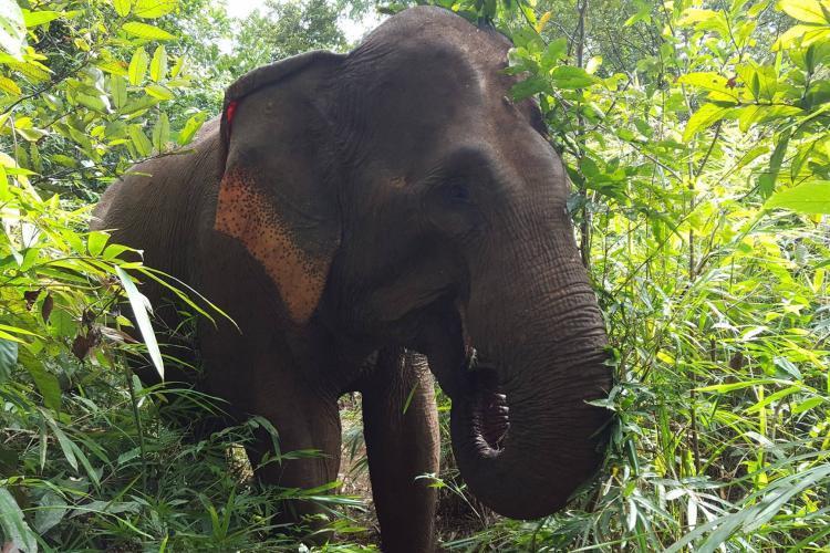 Elephant munching the green
