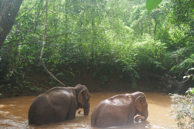Elephants walking through river