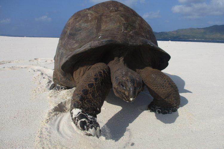 Giant aldabra tortoise on beach