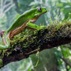 Giant monkey treefrog in Amazon