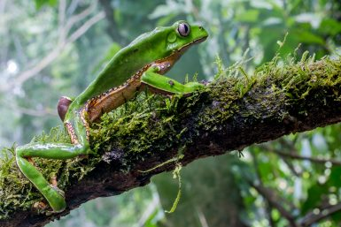 Giant monkey treefrog in Amazon