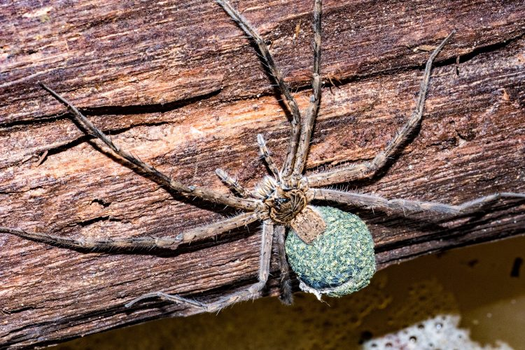 Giant spider in amazon