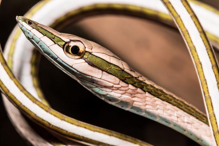Green striped vine snake
