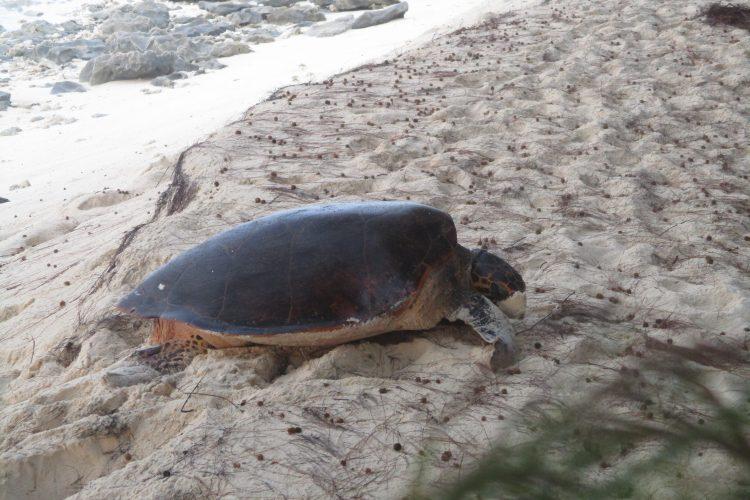 Hawksbill sea turtle in the sand