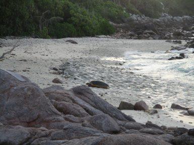 Hawksbill sea turtle on beach