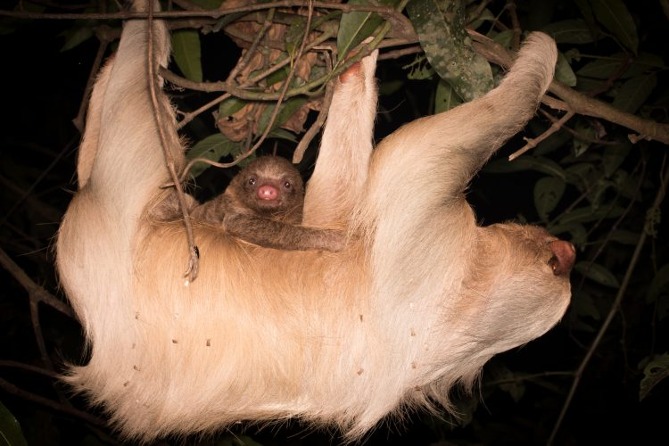 Hoffmans Two Toed Sloths