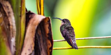 Hummingbird in amazon