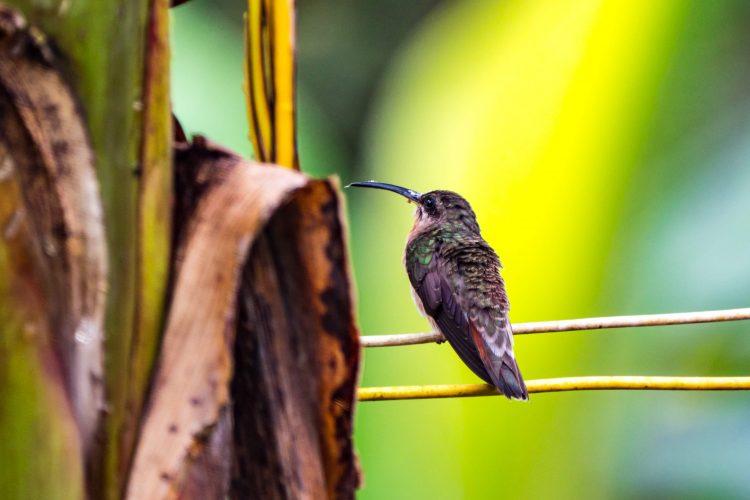 Hummingbird in amazon