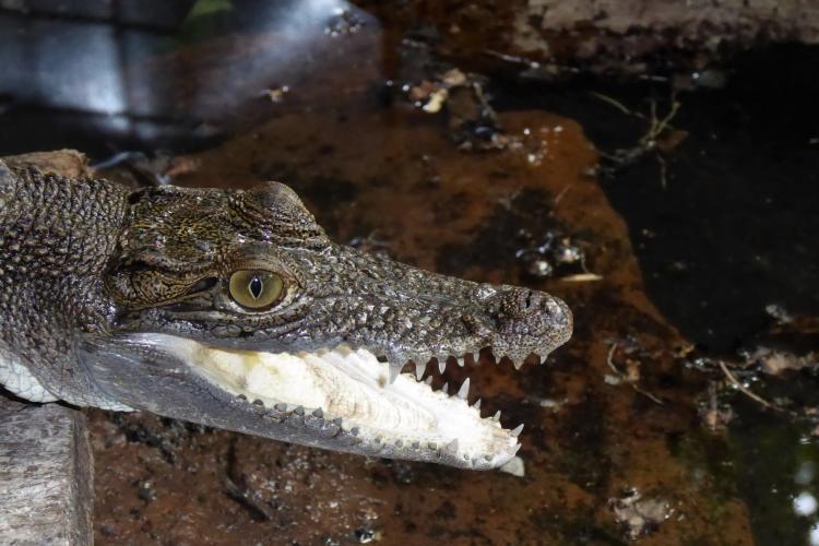 Irwin the Salt Water Crocodile