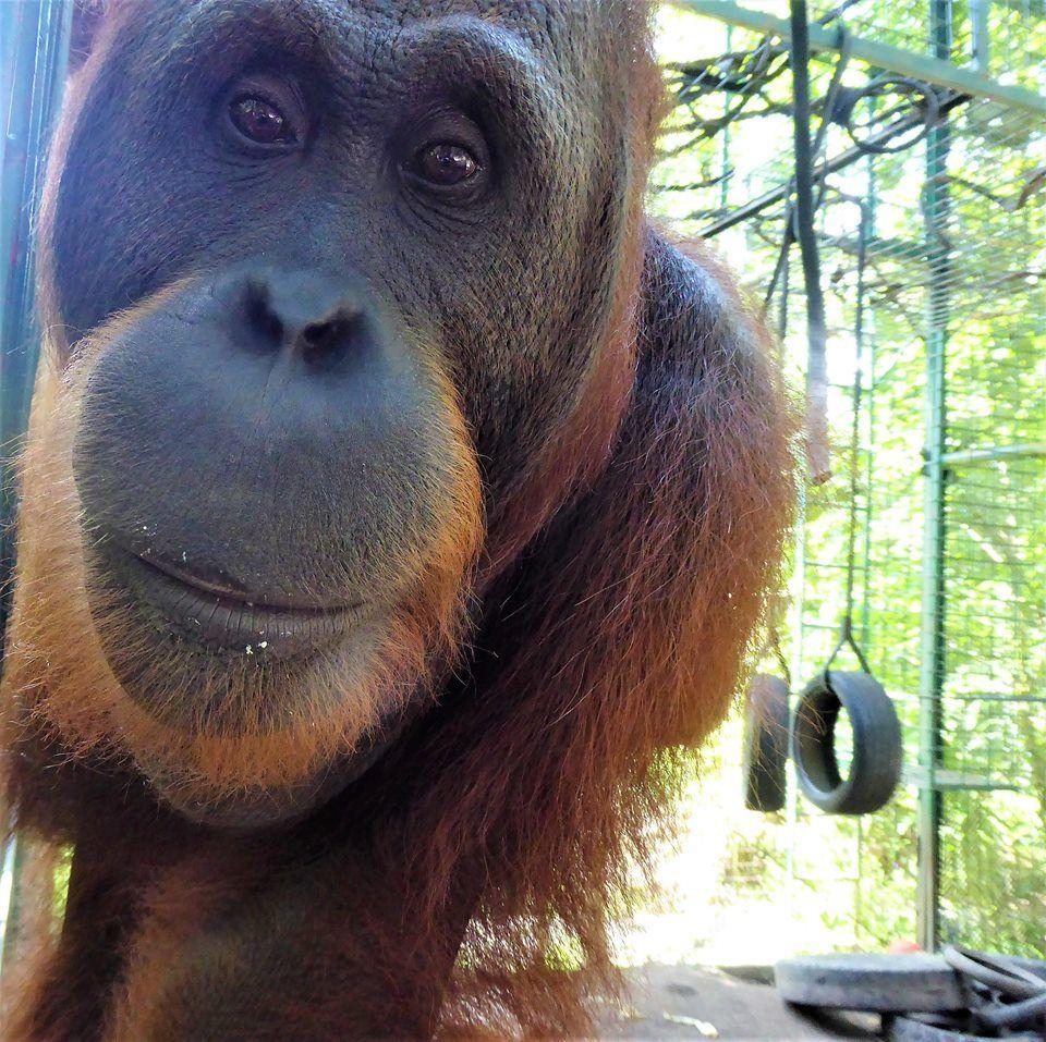 Is the orangutan