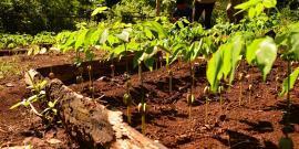 Seedlings for reforestation