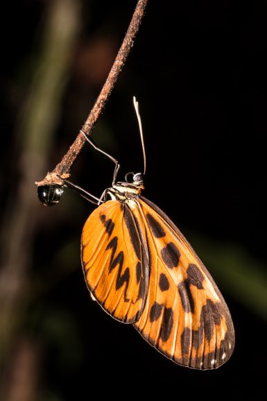 Species of tiger butterfly