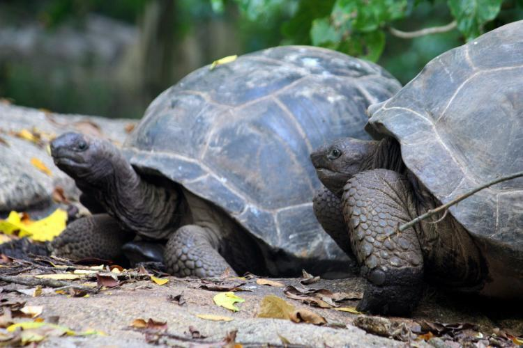 Tortoises together on island