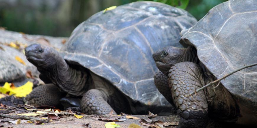 Tortoises together on island