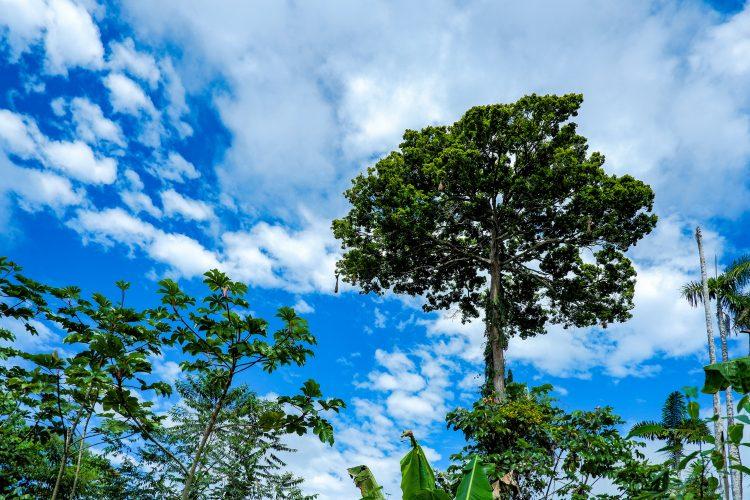 Tree canopy rainforest