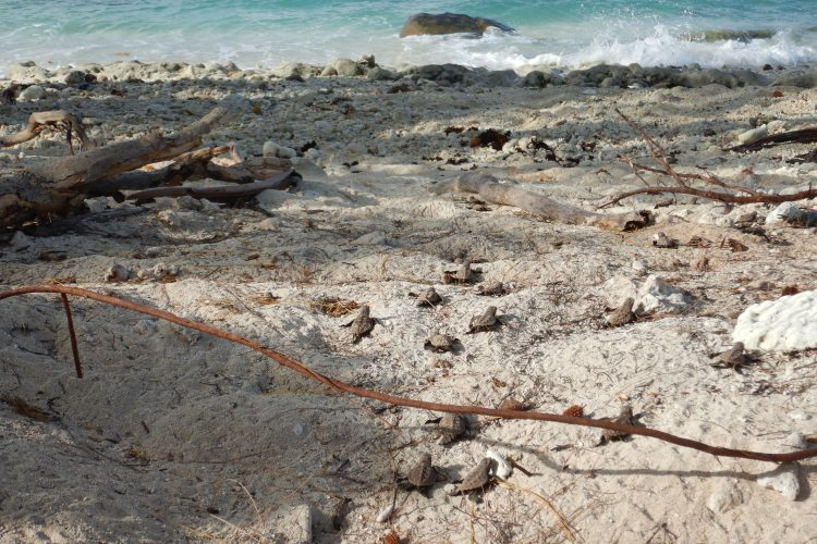 Turtle hatchlings going to sea