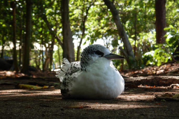 White tailed tropic bird juvenile