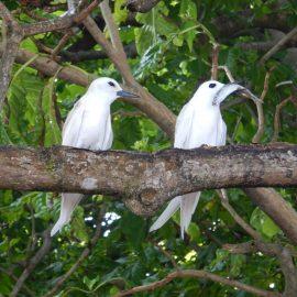 White tern birds
