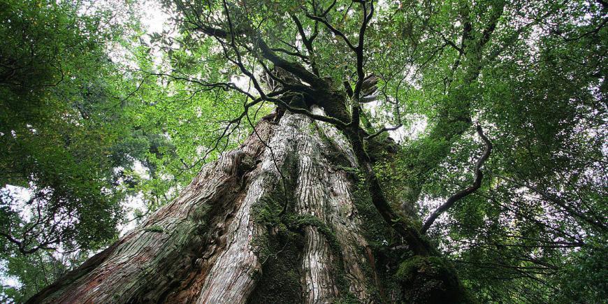 Yakushima cedar Kagoshima Japan