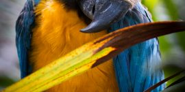 Young blue and yellow macaw