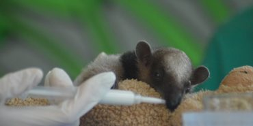 Baby anteater being fed