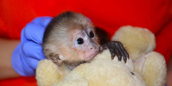 Baby capuchin monkey at a rescue centre