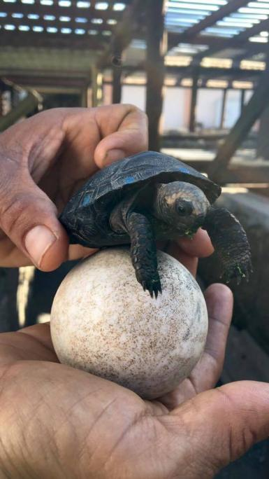Baby Galapagos tortoise and egg